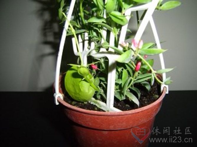 青蛙藤花语:颠倒之美 - 如火骄阳 -