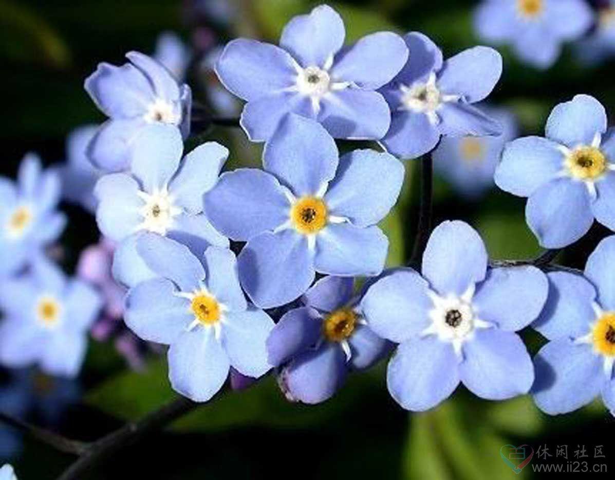勿忘我花语:蓝色之爱 - 如火骄阳 -