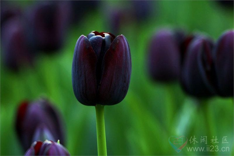 黑郁金香花语:神秘、高贵、爱的化身 - 如火骄阳 -