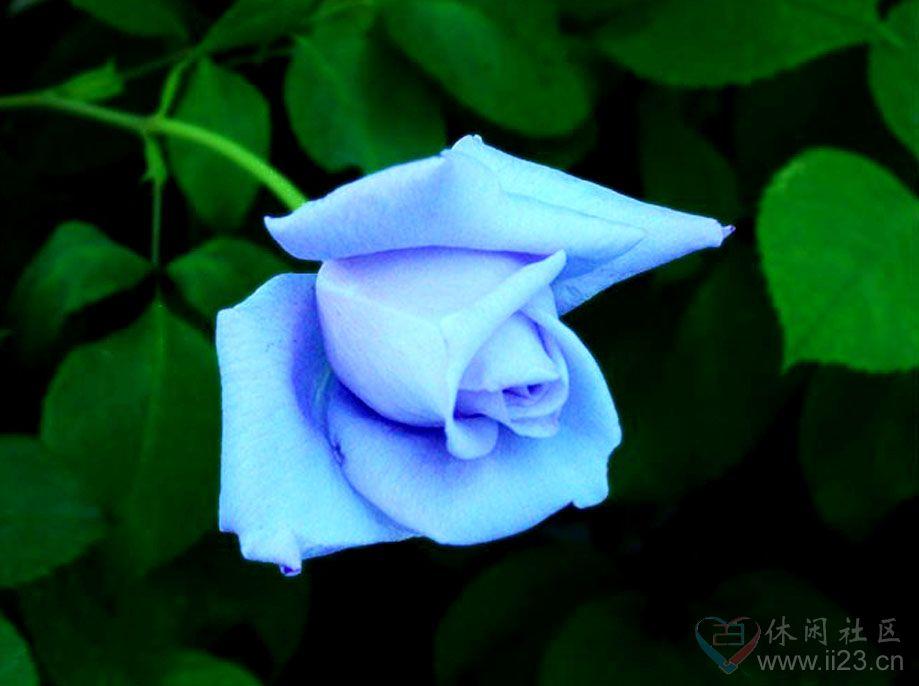 蓝色妖姬花语:相守是一种承诺 - 如火骄阳 -