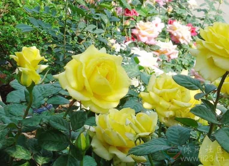 黄玫瑰花语:幸福美满、纯洁的友谊 - 如火骄阳 -