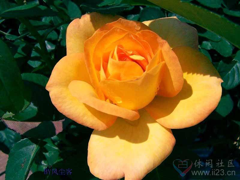 橙玫瑰花语:羞怯、献给你一份神秘的爱 - 如火骄阳 -