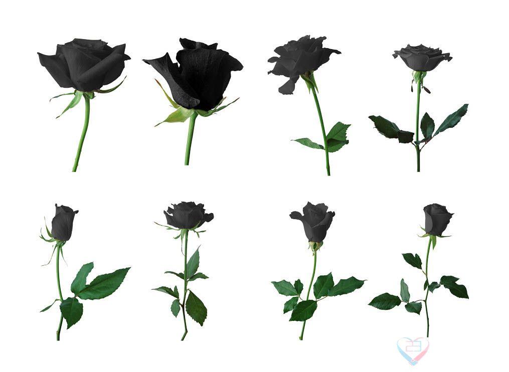 黑玫瑰的花语:温柔真心、独一无二、你终将成为我的人 - 如火骄阳 -