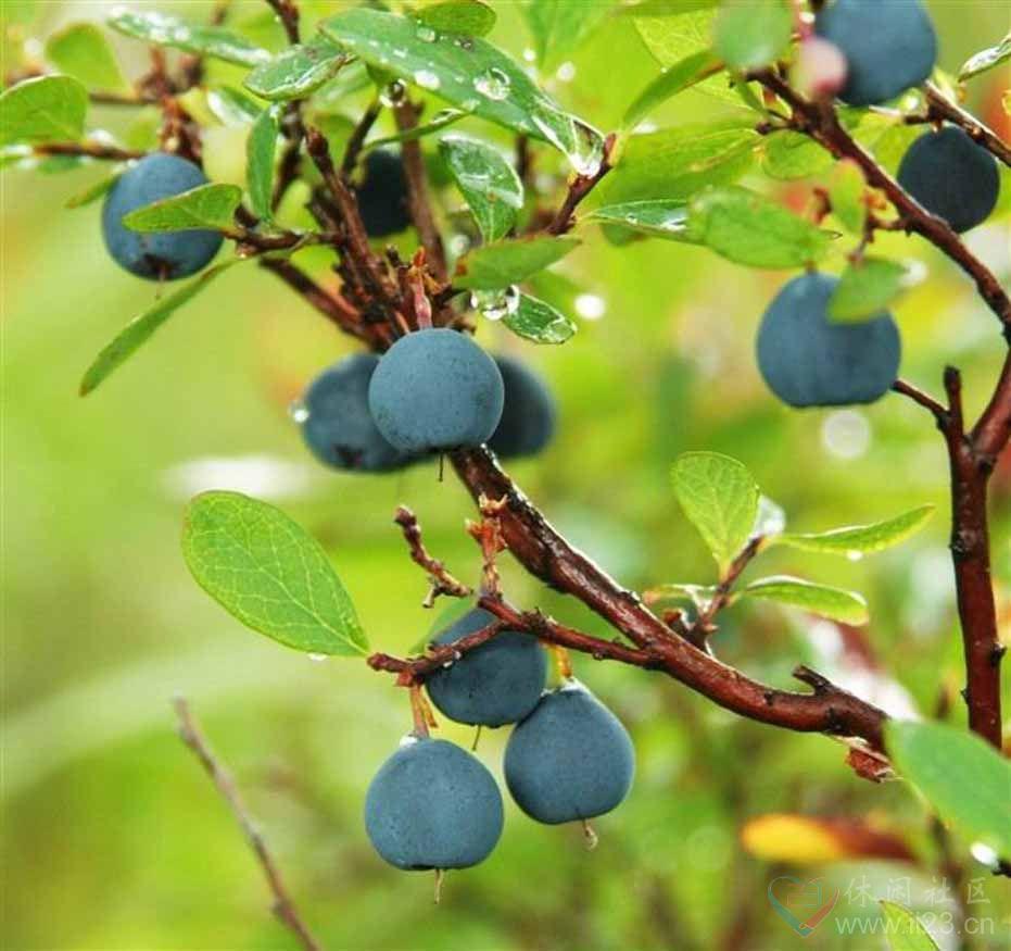 蓝莓花语:幸福浪漫、宽厚体贴 - 如火骄阳 -