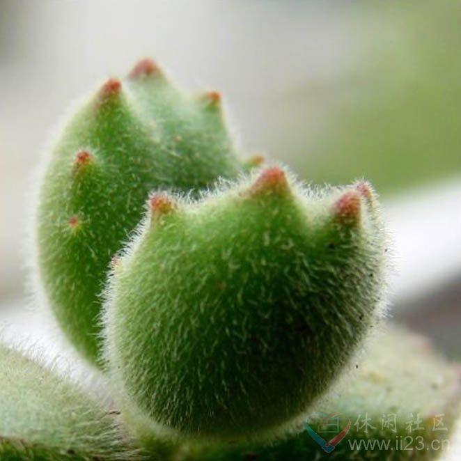 熊童子花语:玲珑优雅、绿色山珍 - 如火骄阳 -