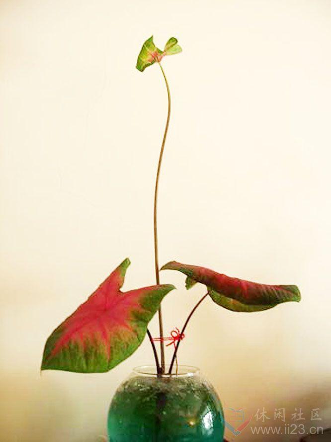 彩叶芋花语:喜欢、欢喜、愉快 - 如火骄阳 -