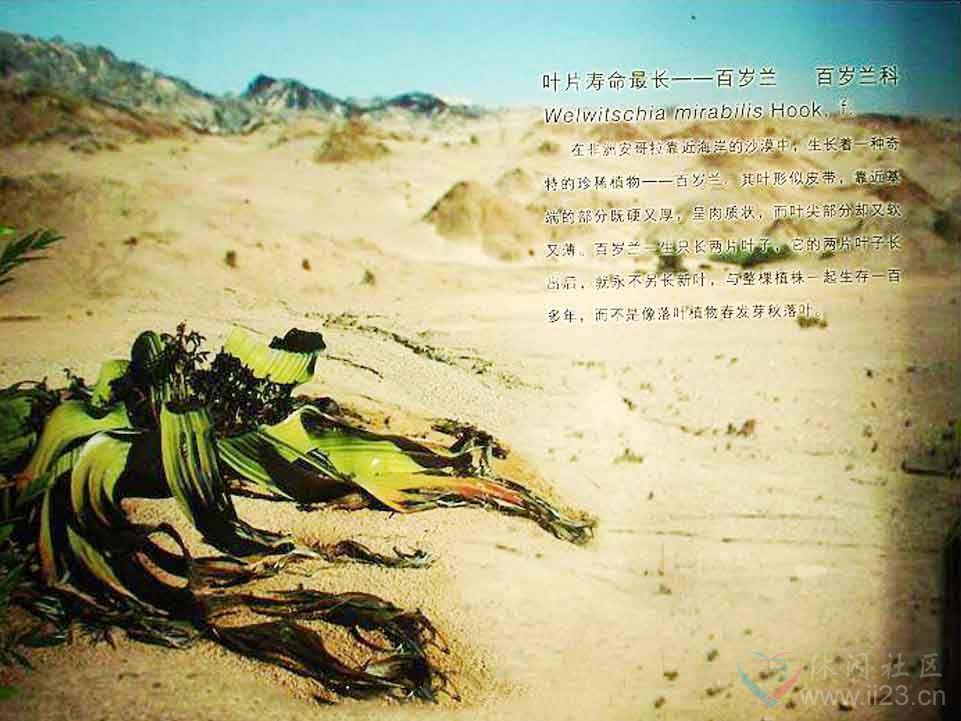 百岁兰花语:相濡以沫、双叶厮守一千年 - 如火骄阳 -