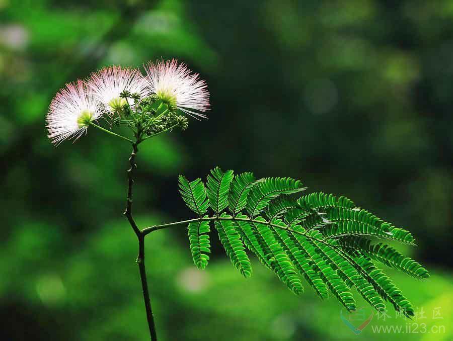 合欢花花语:和乐美满、永远恩爱 - 如火骄阳 -