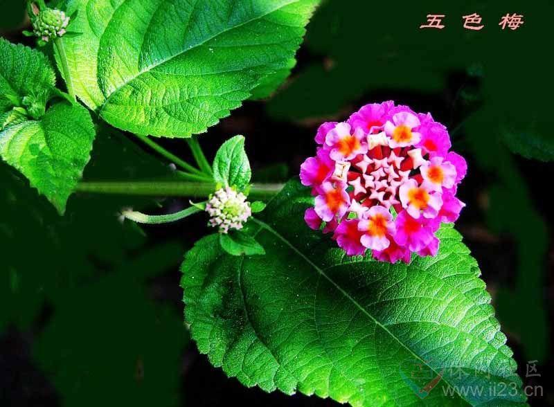 五色梅花语:开朗、活泼 - 如火骄阳 -