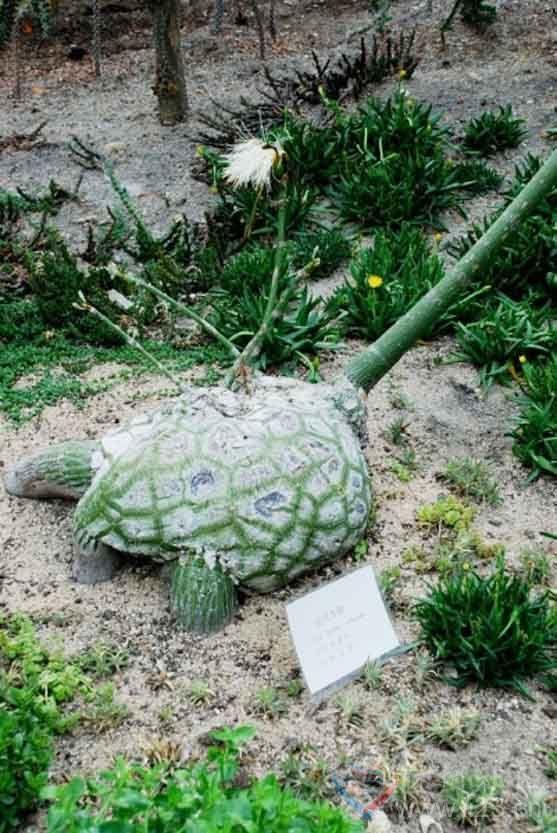 """龟纹木棉花花语:""""龟身""""上的修面刷 - 如火骄阳 -"""