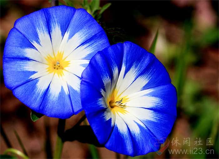 三色旋花花语:恩赐永恒、丽质天生 - 如火骄阳 -