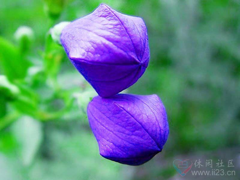 桔梗花花语:永恒的爱、无望的爱 - 如火骄阳 -