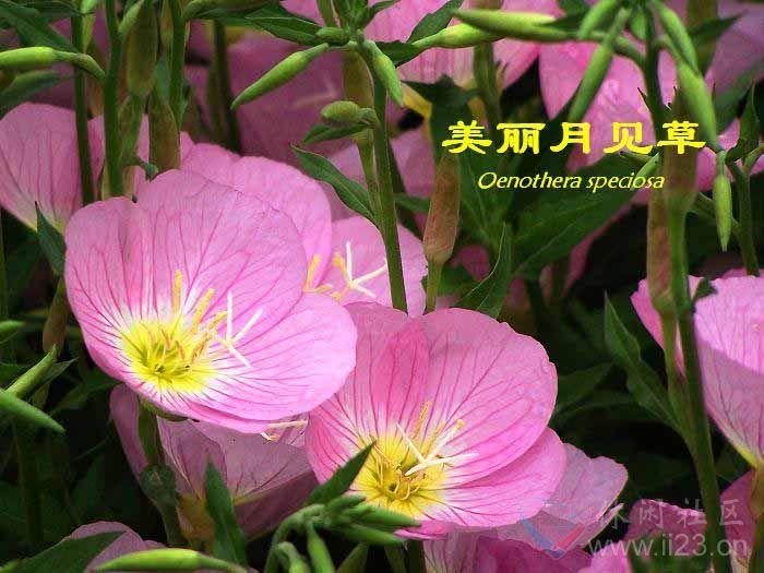 月见草花语:沐浴后的美人、默默的爱 - 如火骄阳 -