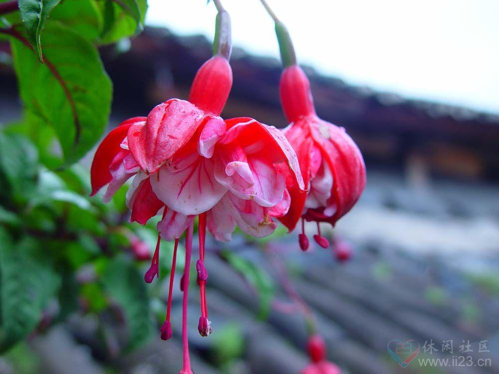 倒挂金钟花语:相信爱情、热烈的心 - 如火骄阳 -