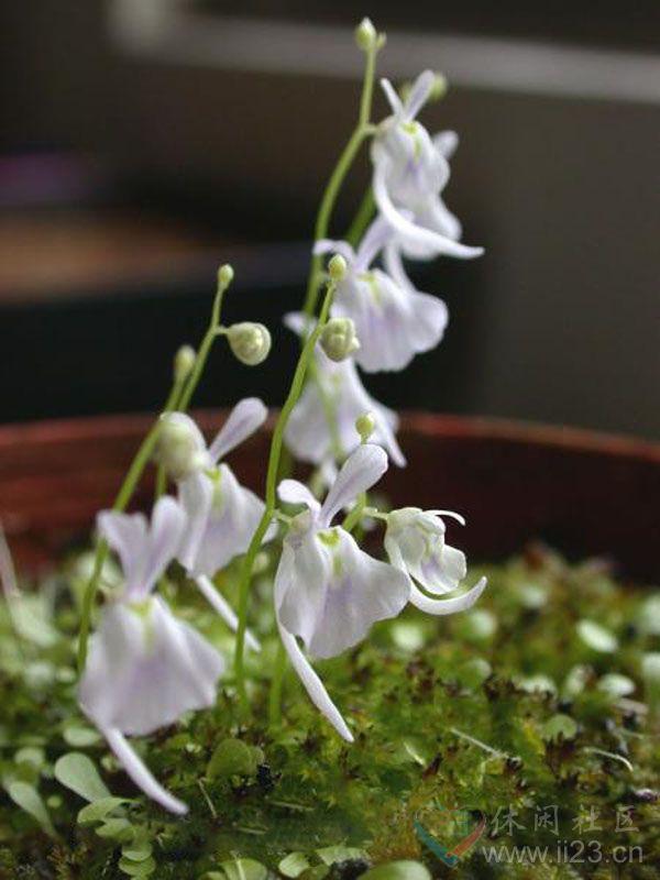 小白兔狸藻花语:护花使者、为你守候 - 如火骄阳 -