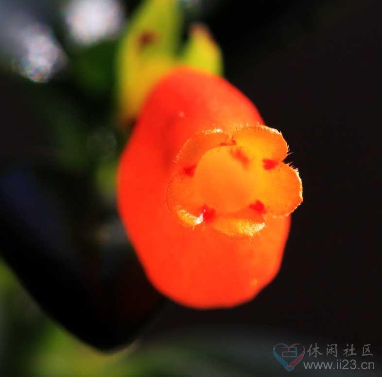袋鼠花花语:毅力 温柔 - 如火骄阳 -