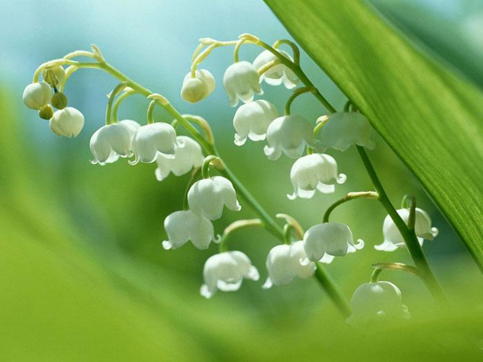 铃兰花语:纯洁、幸福归来 - 如火骄阳 -