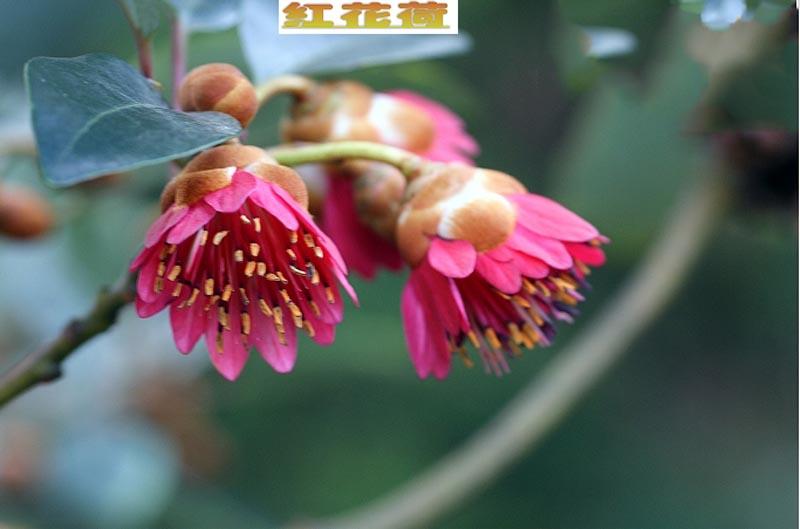 红花荷花语:深山丽质、金钟高悬 - 如火骄阳 -
