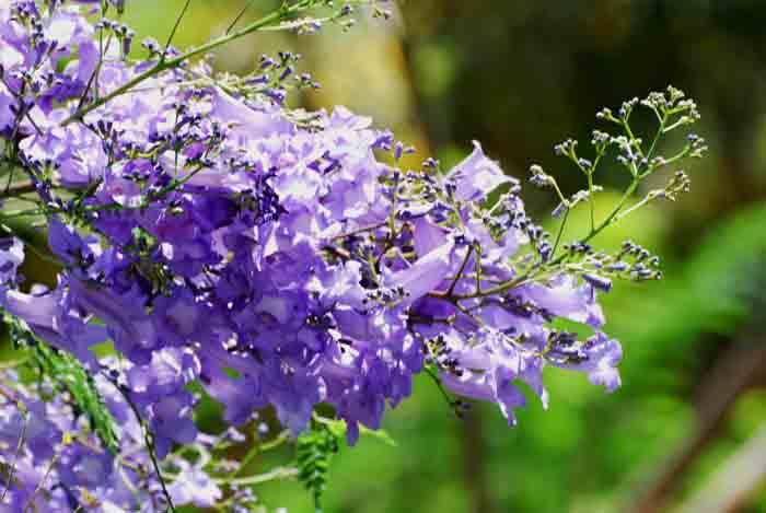 蓝花楹花语:深远、清凉、静谧、梦幻 - 如火骄阳 -