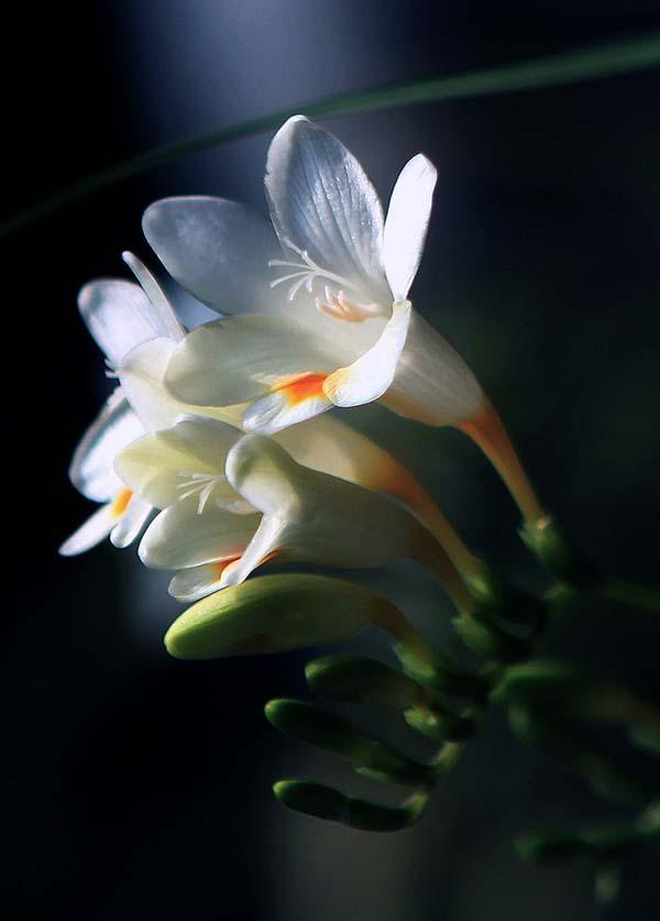 小苍兰花语:纯洁、无邪、清香、幸福 - 如火骄阳 -