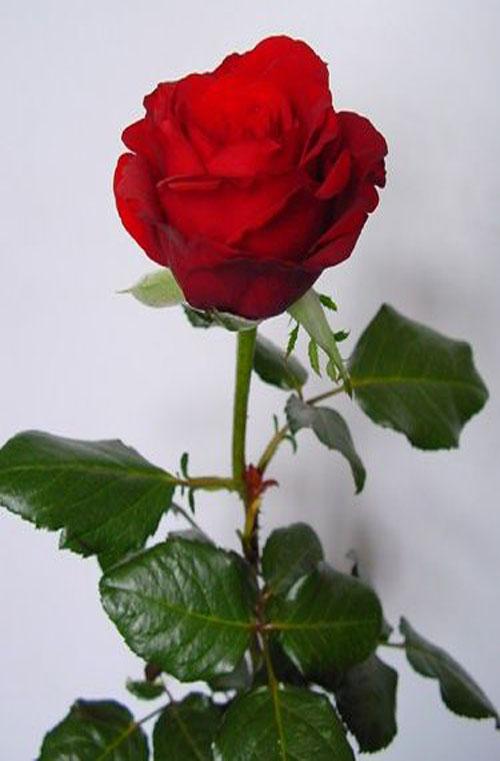 红衣主教花语:热恋、希望与你泛起激情的爱 - 如火骄阳 -